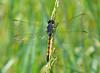 Female Seaside Dragonlet