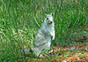 Young Delmarva Fox Squirrel