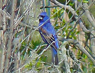 Male Blue Grosbeak