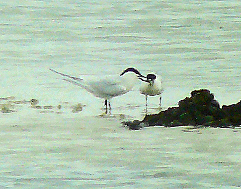 Gull-billed Terns