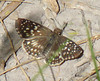 Tropical Checkered Skipper
