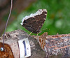 Mourning Cloak and Tawny Emperor