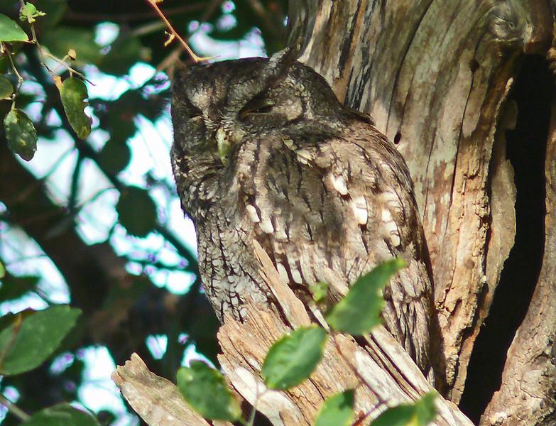 Eastern Screech-Owl (McCall's)