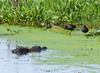 Dude!  We have company!  Common Gallinules and an Alligator