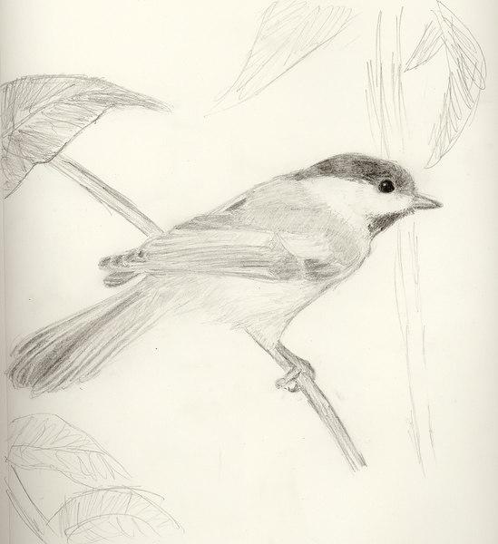Black-capped chickadee. From a calendar photo.