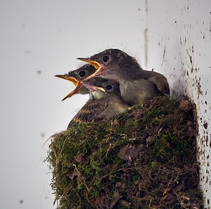 Eastern Phoebe chicks