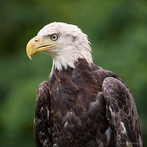 Bald Eagle, 5th year female