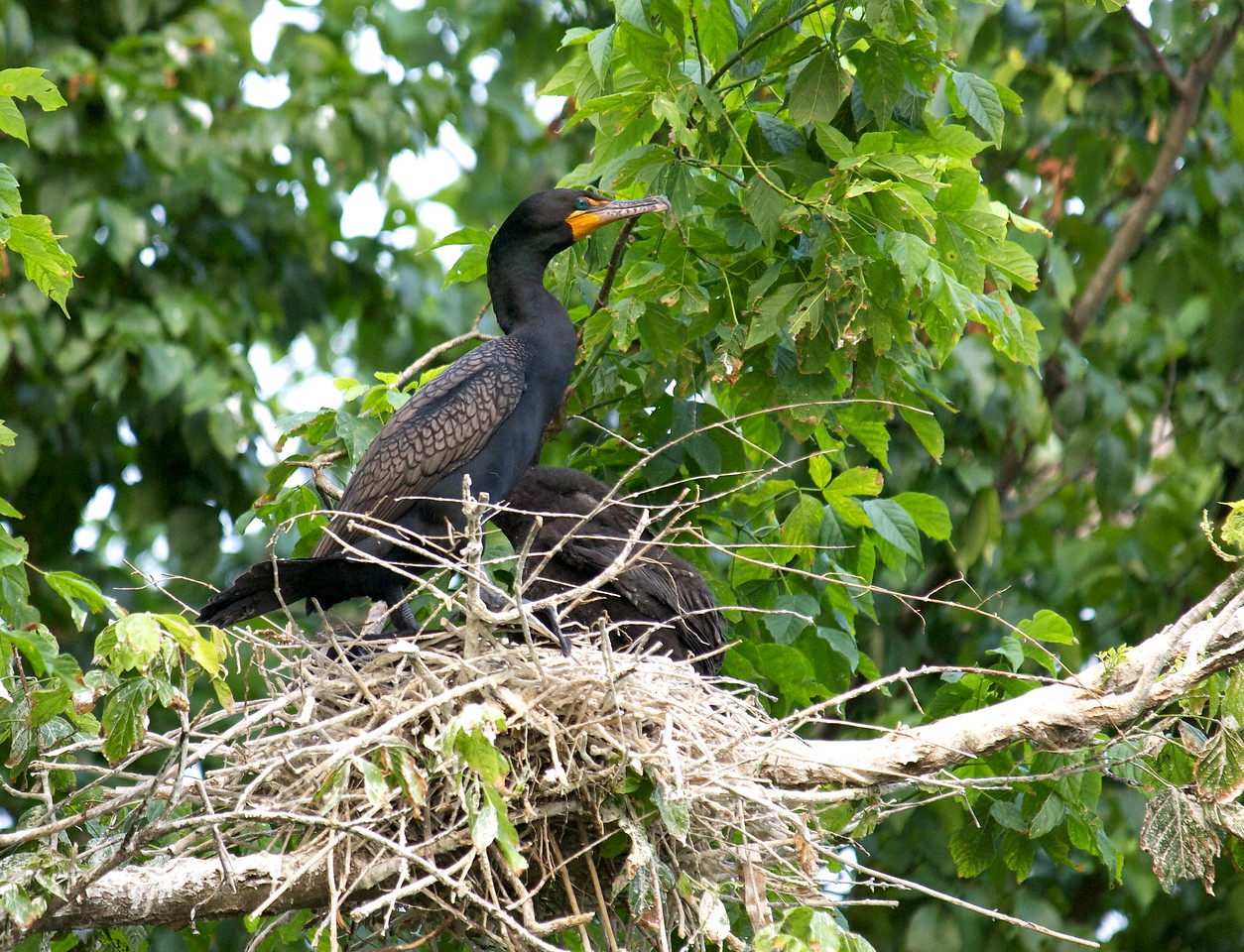 Double crested cormorant on nest with a chick