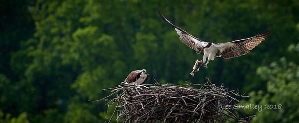 Osprey Lunch
