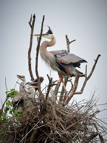 Great Blue Heron with 3 chicks