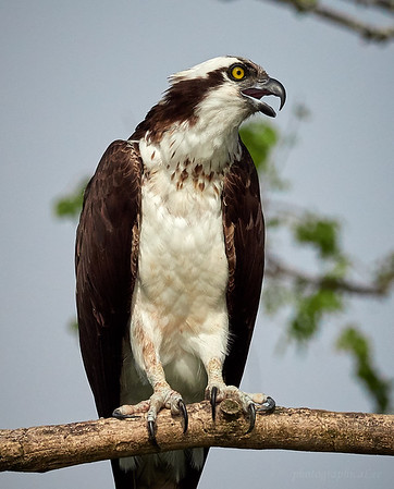 Osprey, adult. Note the yellow eyes.