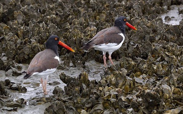 Oystercatcher Buffet