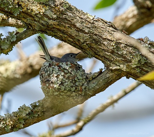 Blue-gray Gnatcatcher on nest