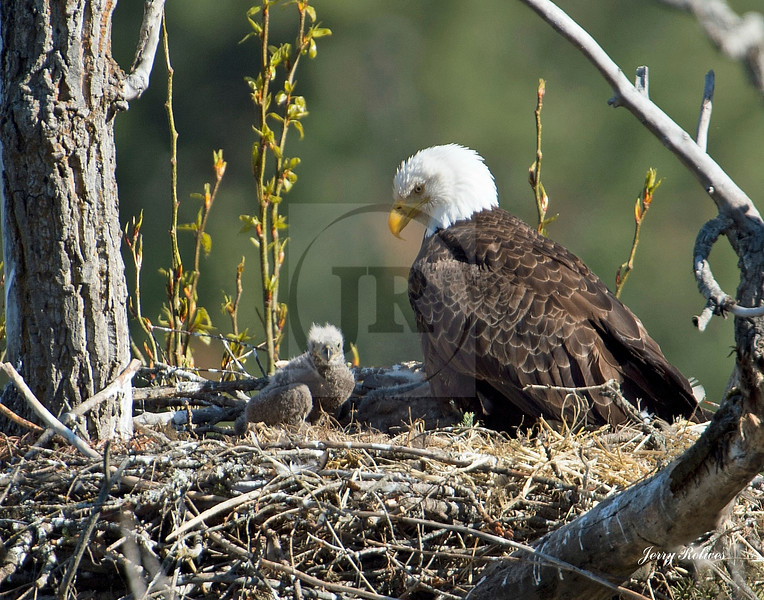 Mama bald eagle with chick