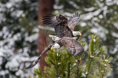 Departing eagle from confrontation