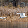 Two Trumpeter swans departing frozen lake