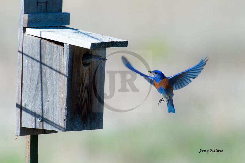 Western Bluebird with birdhouse