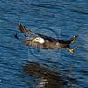 Bald Eagle captures fish