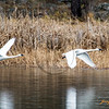 Two trumpeter swans departing 1216