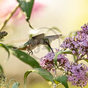 Hummingbird feeding on Butterfly bush