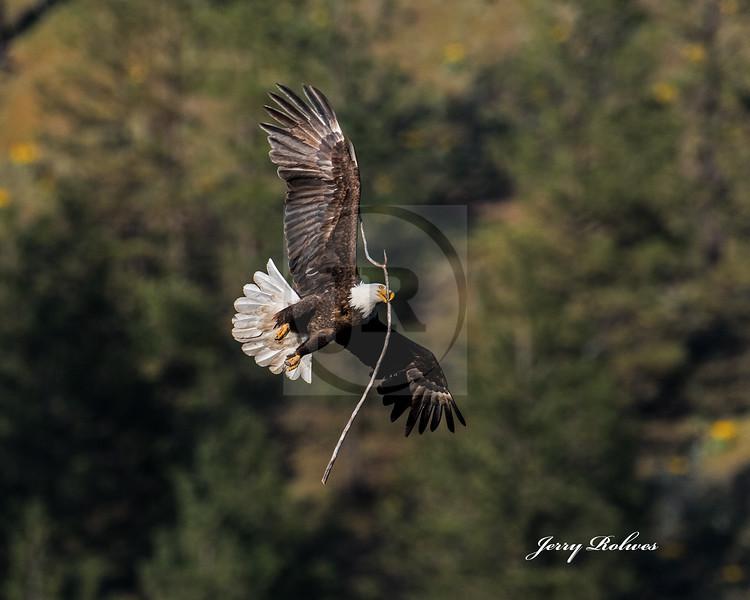 Eagle with limb