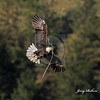 Eagle with limb