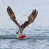Osprey with Kokanee salmon V wing