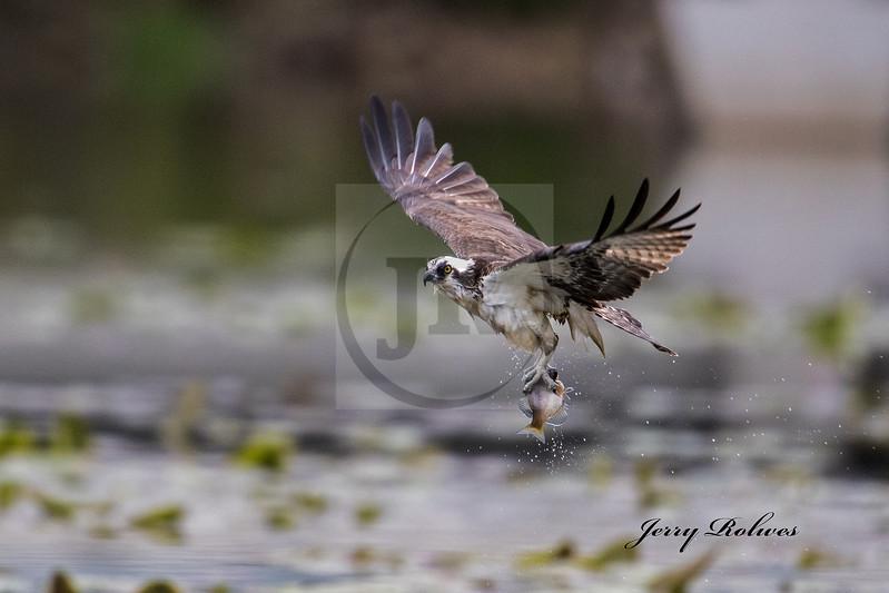 Osprey with sun fish