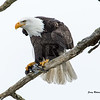 Perched Eagle with fish