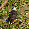 Perched eagle with green foiliage