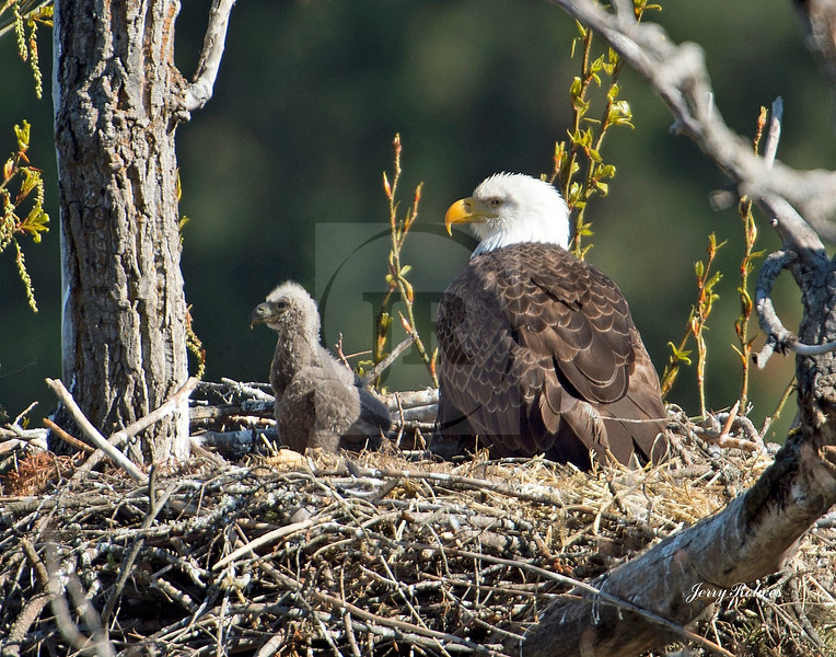 Mama bald eagle with chick in profile