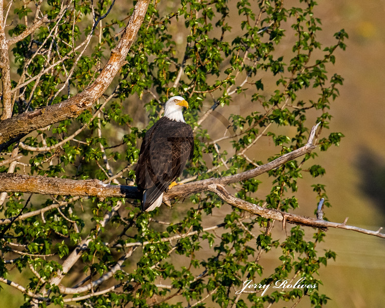 Perched Bald Eagle with  spring foliage