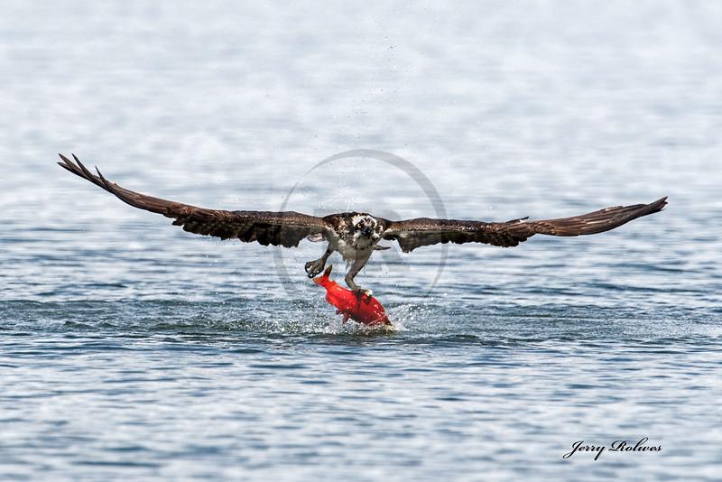 Osprey with Kokanee Salmon