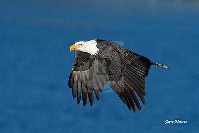 Bald Eagle on a blue sky day