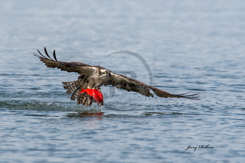 Osprey with Red Kokanee clearing water
