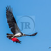 Osprey with Red Kokanee salmon in flight