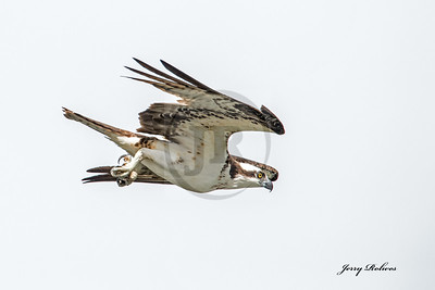 Osprey diving for Kokanee salmon