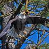 Eagle leaving perch 120716
