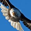 Bald eagle flying into camera