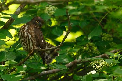 Brown Hawk Owl