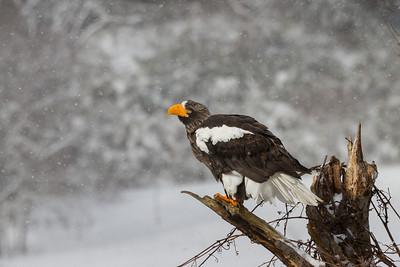 Eagle Season 2012/13