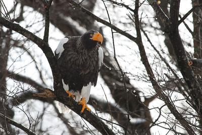 Eagle Season 2008/9