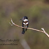 Red belted Kingfisher
