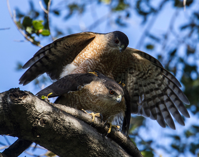 Cooper's Hawks mating. the male has blood red eyes and females eyes are orange.