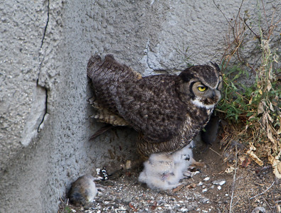 Great, Horned, Owl, nesting