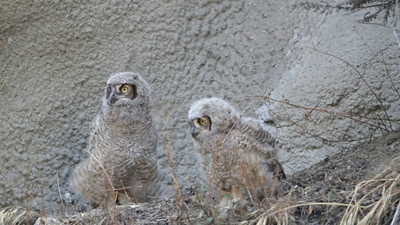 1.21 minutes video on Great Horned Owl