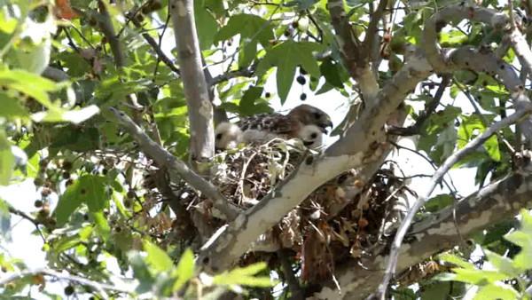 Red Shouldered Hawk Nesting