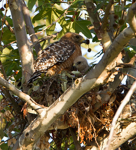 Red Shouldered Hawk Nesting