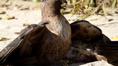 battle Red Tail Hawk