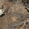 battle Red Tail Hawk